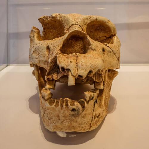 Crânio do hominídeo homo heidelbergensis, que viveu entre 500 mil e 250 mil anos atrás.*