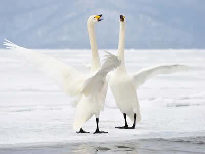 Segundo a lenda, os cisnes emitiriam um belo canto antes de sua morte